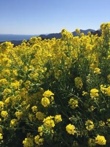 菜の花リサイズ